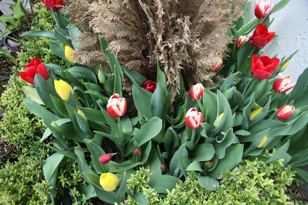مردی که برای آرامش روح مادرش همزمان با روز مادر هزاران گلدان گل به مادران لاهیجانی هدیه کرد؛  ۱۰ هزار گل پیشکش قلب مادران